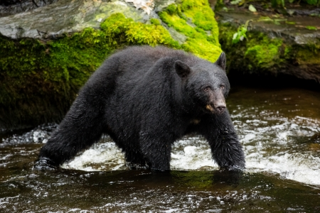 Black bear looking for food photo