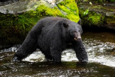 oso negro: Oso negro buscando alimentos  Foto de archivo