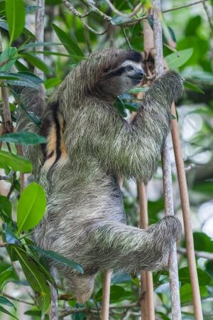 faultier: Faultier in der regen Wald s von Costa Rica Lizenzfreie Bilder