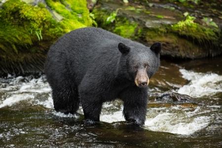 Black Bear, Alaska Standard-Bild - 25151113