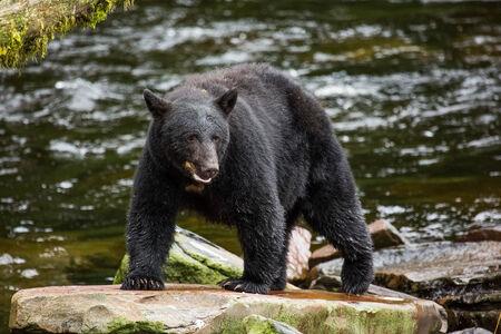 ferocious: Black Bear, Alaska