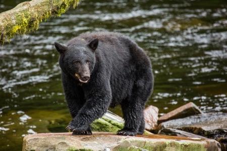 黒い熊、アラスカ