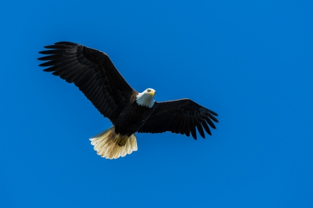 Bald eagle Stock Photo - 25151116