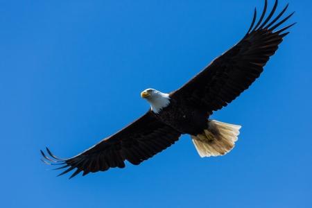 soaring: Bald Eagle