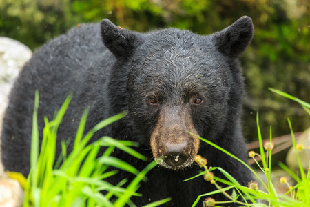 Black bear close up, head shot. Ketchikan, Alaska.