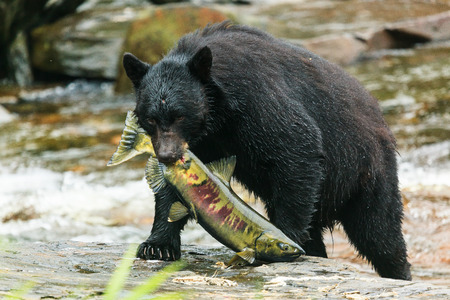 The American black bear catching fish