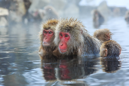 Snow monkeys in a natural onsen (hot spring), located in Jigokudani Park, Yudanaka. Nagano Japan.