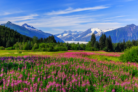 Mendenhall Glacier Viewpoint with Fireweed in bloom. Juneau, Alaska Stock Photo