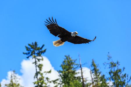 Bald eagle in flight, Alaska. United States of America.