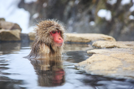 Snow monkey at a natural onsen (hot spring), located in Jigokudani Park, Yudanaka. Nagano Japan.