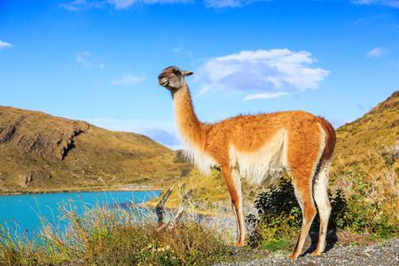 グアナコはパタゴニアのトレス ・ デル ・ パイネ国立公園内 写真素材