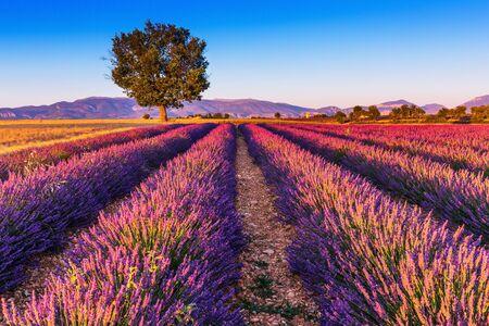 Provence, France. Champs de lavande sur le Plateau de Valensole. Banque d'images