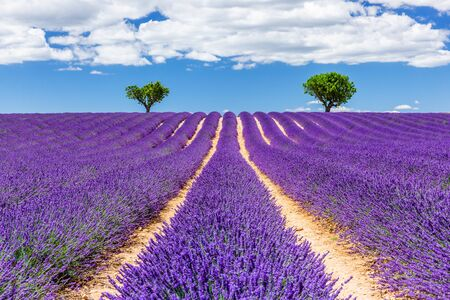 Provence, France. Lavender fields on the Plateau of Valensole.