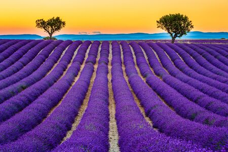Provence, France. Lavender fields at sunset on the Plateau of Valensole.