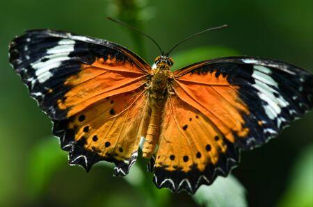 Orange Lacewing Butterfly (Danaus chrysippus) plain tiger