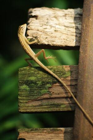 primitivism: Nature lizard
