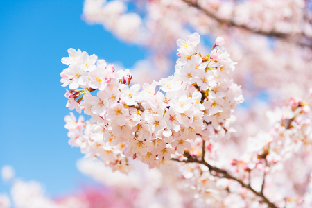 Close-up Cherry blossoms (Sakura) tree at Shinjuku Gyoen National Garden
