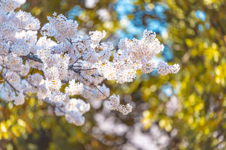Close-up Cherry blossoms (Sakura) tree at Shinjuku Gyoen National Garden 免版税图像 - 123736554