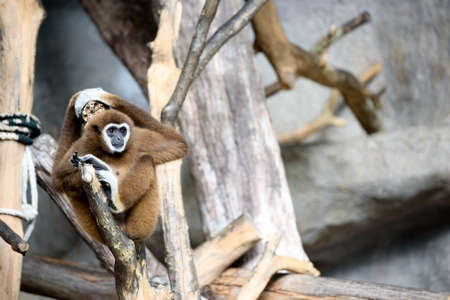 White-handed gibbons in the zoo are well fed. To conservation and conserve wildlife.