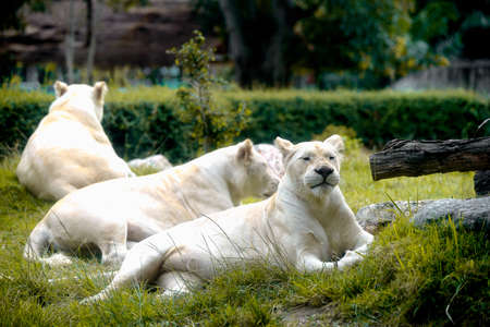 Female White Lion lying down on grass in zoo. Very shallow focus point at lion face 免版税图像