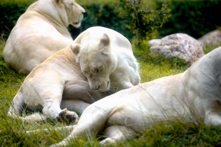 Female White Lion lying down on grass in zoo. Very shallow focus point at lion face Фото со стока