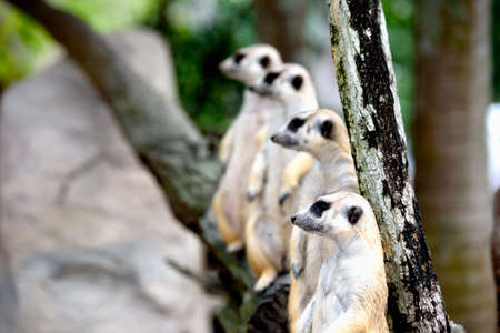 Meerkat family standing and on lookout Фото со стока