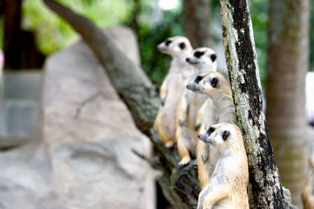 Meerkat family standing and on lookout 免版税图像