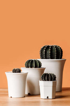 Cactus group Gymnocalycium friedrichii in white pots on wooden table, LB 2178, VoS Cactus Closeup on Orange background with copy space.