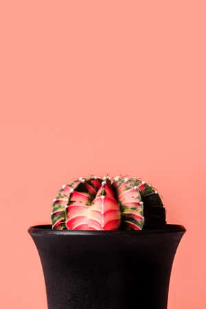 Gymnocalycium Friedrichii LB Hybrid Cactus in black pots, Minimal close up on pink pastel background with copy space. Banque d'images
