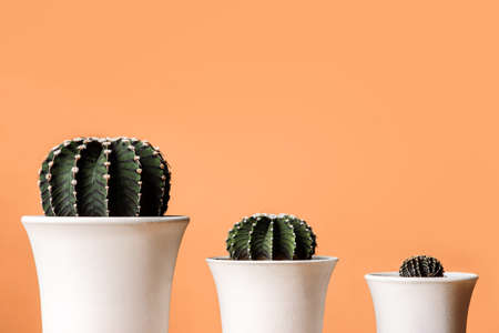 Cactus group Gymnocalycium friedrichii in white pots, LB 2178, VoS Cactus Closeup on Orange background with copy space.