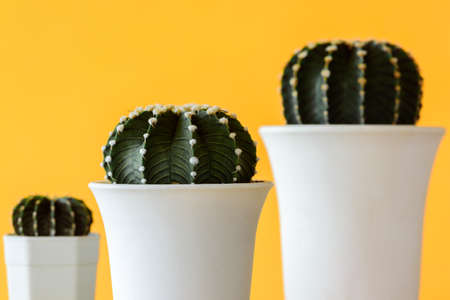 Cactus group Gymnocalycium friedrichii in white pots, LB 2178, VoS Cactus Closeup on Yellow background with copy space.
