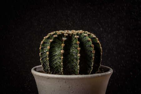 Close up Gymnocalycium Friedrichii LB1278 cactus on black background with water spray