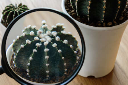 Close up using Magnifying glass to see details of cactus, Gymnocalycium Friedrichii  LB 2178, VoS Cactus in white pots on wooden table.
