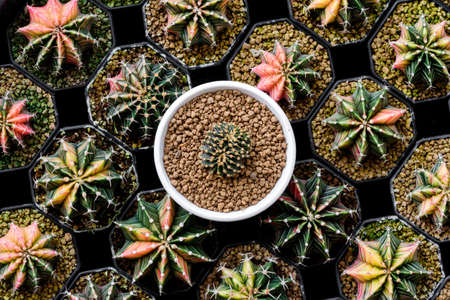 Flat lay photo of Cactus or Top view stack of Cactus Gymnocalycium friedrichii lb Many colored cactus in planting pot.