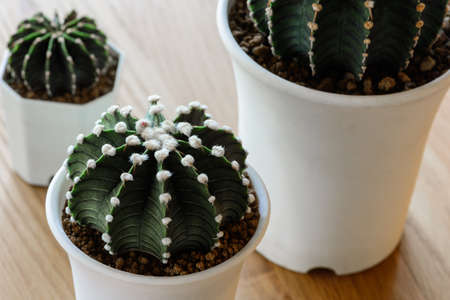 Close up Gymnocalycium Friedrichii  LB 2178, VoS Cactus in white pots on wooden table.