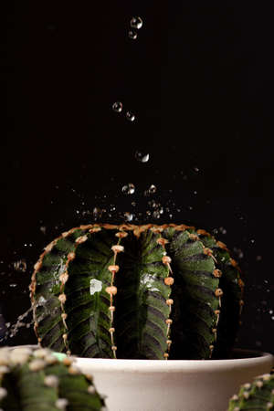 Close up Gymnocalycium Friedrichii LB1278 cactus on black background with water drops