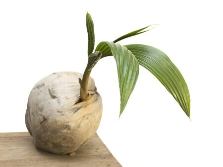 Coconut seed organic growth with green leave on white background photo
