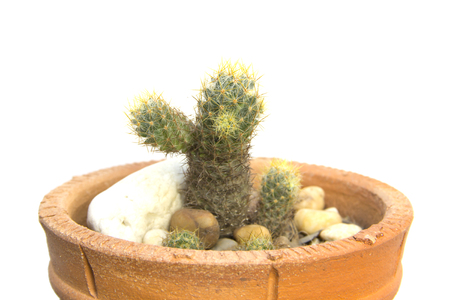 branching: Cactus in clay pot branching on white background