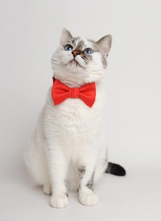 catling: Pretty white cat wearing red bow tie