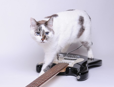 Blue-eyed cat walks on black and white electric guitar