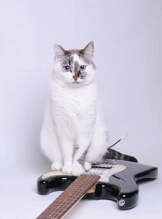 catling: Blue-eyed cat sitting on black and white electric guitar