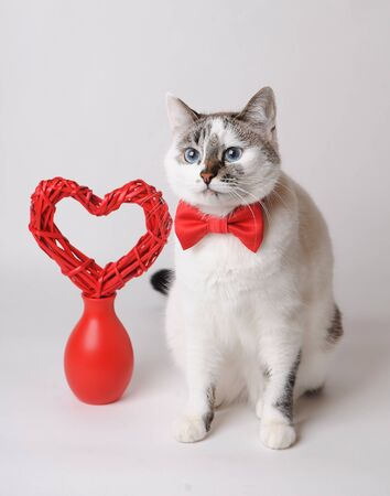 White Cat With Blue Eyes In Red Bow Tie With Valentine Heart Stock