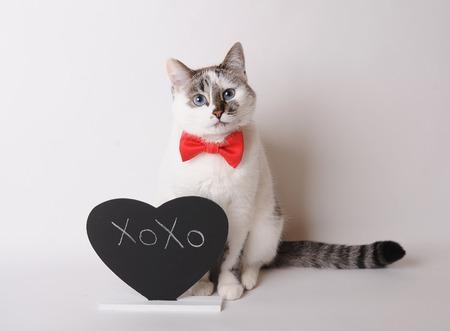 lince rojo: Gato blanco con los ojos azules en pajarita roja con la inscripción XOXO en la pizarra