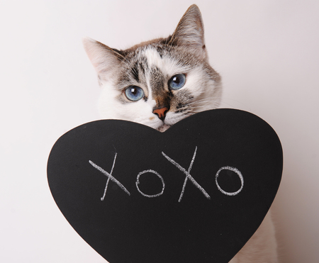 White cat with blue eyes with inscription XOXO on the blackboard