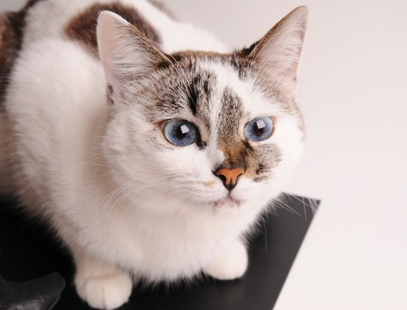 catling: White cat with blue eyes close-up Stock Photo