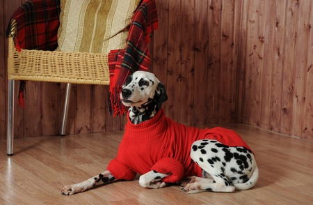 Dalmatian in a red sweater in the autumn interior lies near the chair Stock Photo