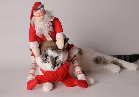 Blue eyed cat wearing red scarf with Santa Claus on a light background