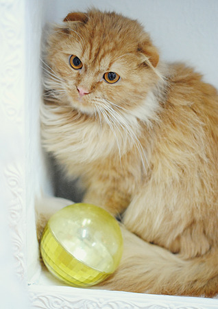 Ginger cat with yellow toy ball. Close portrait. Christmas mood