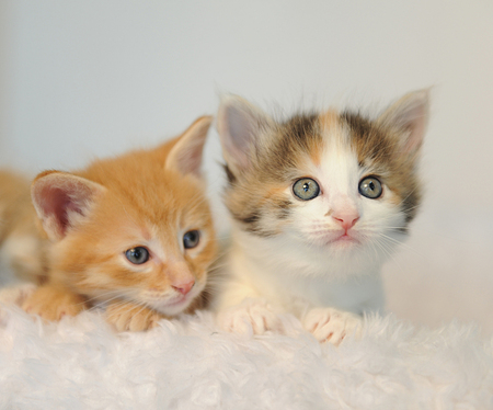 Two little kittens peeking out of a white fluffy chair. Climbs. Light background