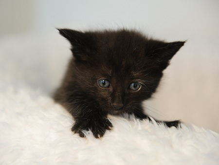 Little black kitten peeking out of a white fluffy chair. Christmas atmosphere
